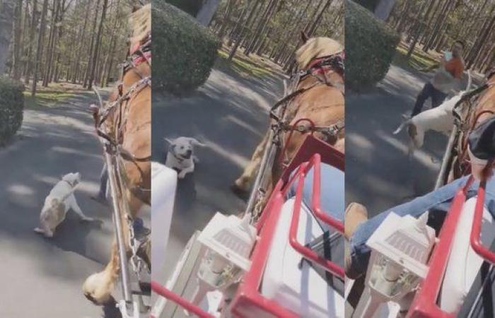 Pitbull attacca un cavallo e calesse con bambini a bordo: 2 persone ferite